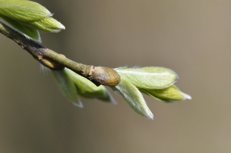 Begin van het voorjaar - Uitlopende knoppen van wilgen