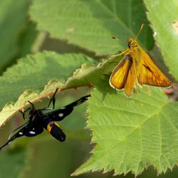 Phegeavlinder en Geelsprietdikkopje