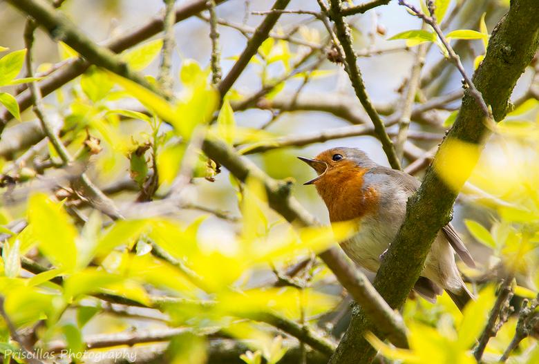 zingend roodborstje - Dit roodborstje zat hoog in een boom.