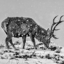Edelhert in sneeuwstorm