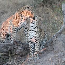 Vrouwtjes luipaard met jong in Kruger Park