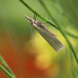 Bleke Grasmot - Crambus perlella