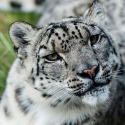 Sneeuw luipaard