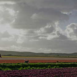 wandelaars door bloembollenvelden