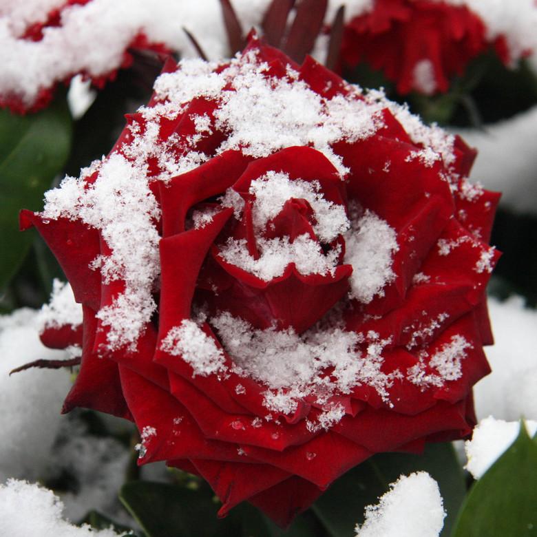 Roos - De laatste keer dat er een dik pak sneeuw lag in Nederland. Ik reed langs een monument waar bloemen neer gelegd waren en fotografeerde deze roo
