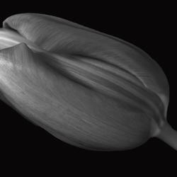 Tulip in BW-1