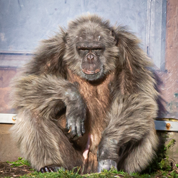 Wouter de grijze Chimp - Beekse Bergen - 191219 - JvH Clickz-2