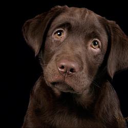 labrador-pup