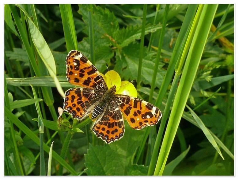 Gekleurd landkaartje  -  Deze foto heb ik vanmiddag  genomen op een heerlijk bloemen veld    het was net een vlinder tuin .  gr bets