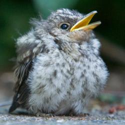 jonge vogel