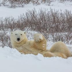 Churchill IJsberen afscheid