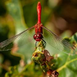 Bloedrode heidelibel 2