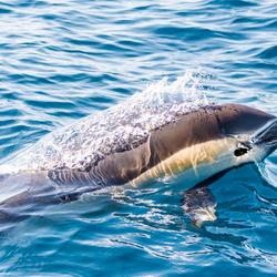 dé Dolfijn