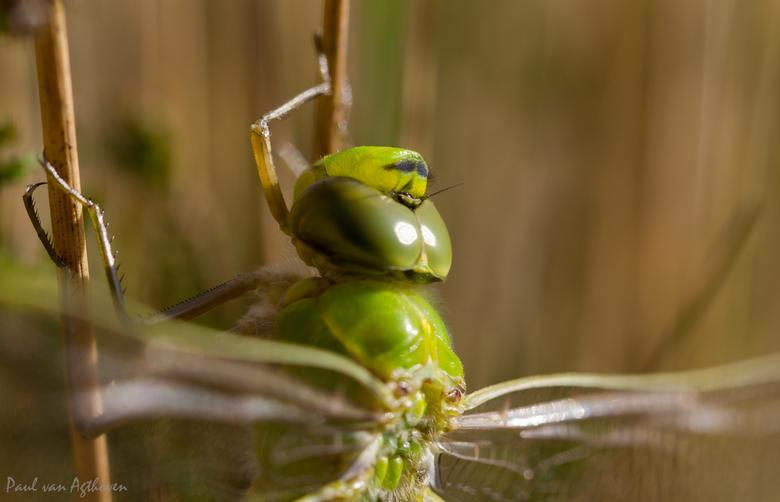 Dragonfly - Zat rustig op te warmen in de zon.