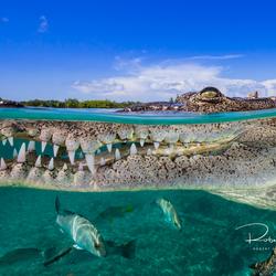 Zoutwater krokodil