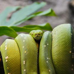 Gifgroene slang