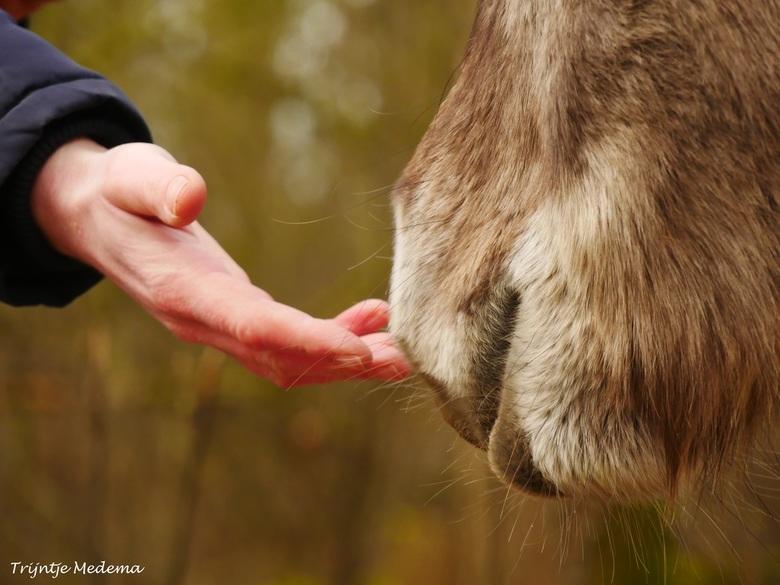Kennismaking - Bij de Ennemaborg in Midwolda, lopen Koniks paardjes vrij rond. <br /> Officieel moet je 25 meter afstand houden, maar soms komen ze u