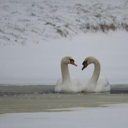 Zwanen in sneeuw