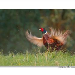roepende fazant