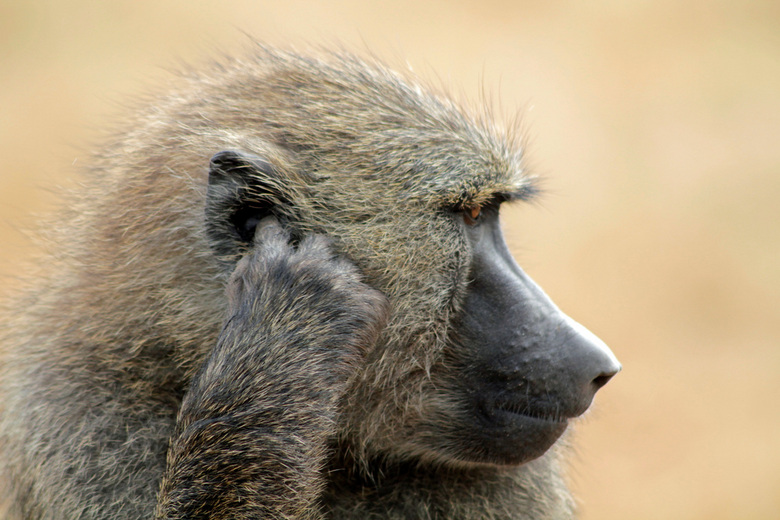 Baboon, easy does it - Baviaan Serengeti Tanzania