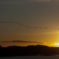 Zwanen op weg naar Staffa