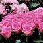 pink ribbon roses