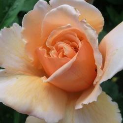 Rosa zalm 5102_18