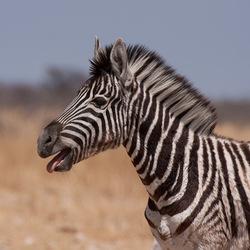 Zebra calling