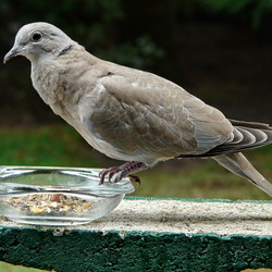 Vogel serie79. Turkse tortel.