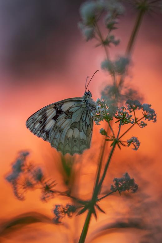 In vuur en vlam - Afgelopen weekend met Dianne (amyl) naar Viroinval geweest, uiteraard voor de vlinders en de eerste avond kwamen we al dambordjes te