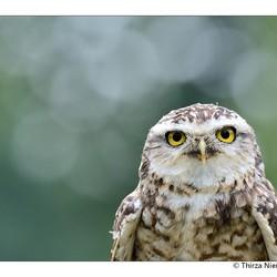 Mr Owl