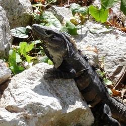 Leguaan in Yucatan