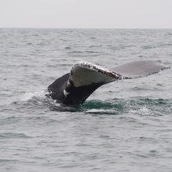 Humpback whale in the rain