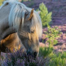 Dit mooie paard geniet ook van de heide