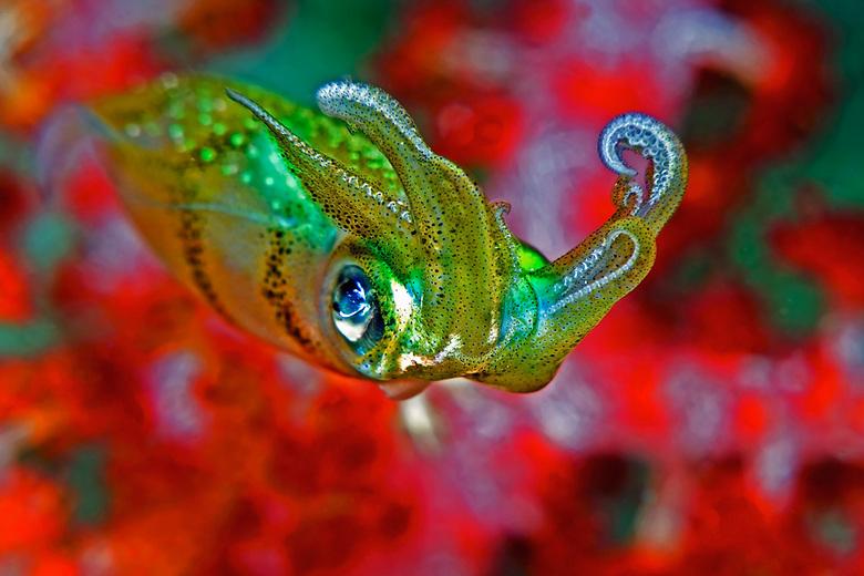 Juvenile Squid - Jonge inktvis (6cm) hangt voor een zacht koraalbloem