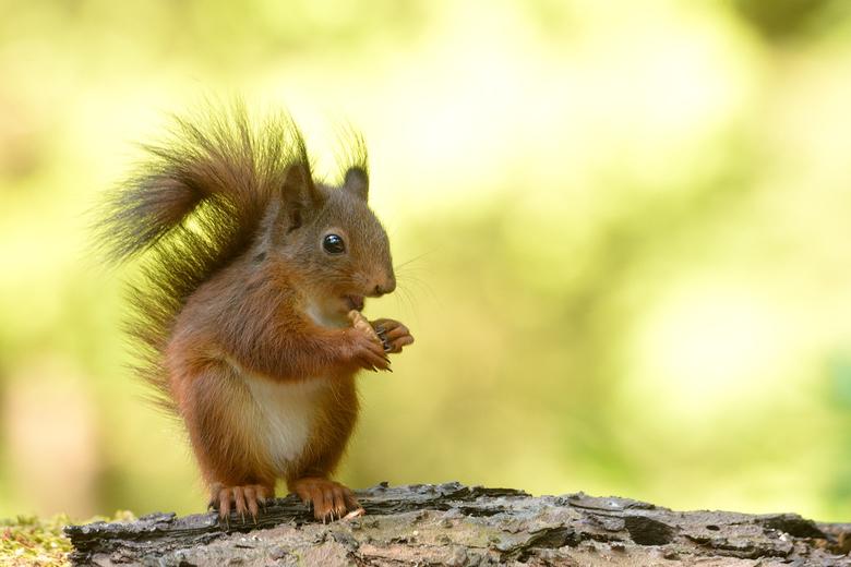 So cute - Jong eekhoorntje doet zich tegoed aan wat noten!<br /> <br /> Hartelijk dank voor de leuke reacties bij mijn foto van de pestvogel!
