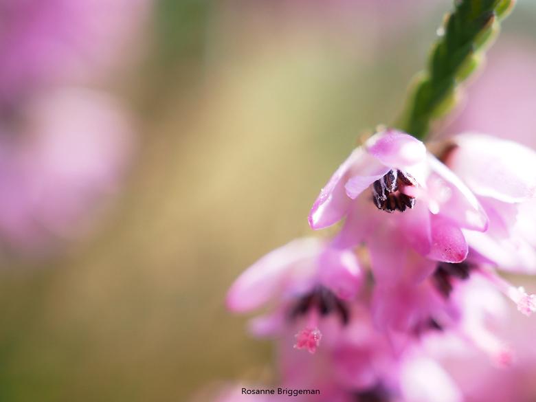 Heide - De kleine bloempjes van de heide maken bij altijd helemaal blij, het gezoem van de bijen, rondspringende krekels en de libellen boven het venn