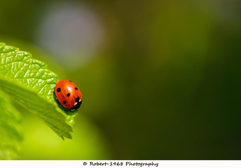 Ladybug - Een lieveheersbeestje op een blad, genomen bij het testen van een nieuwe lens <br /> namelijk de Tamron AF 70-300 mm