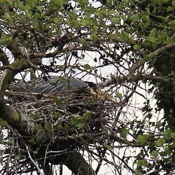 reiger op nest