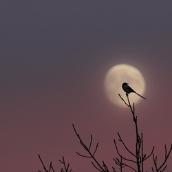 Ekster in maanlicht