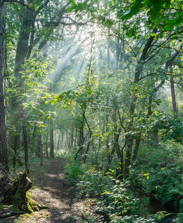 Fairytale Forest - Zonneharpen die van bovenaf in het bos schijnen