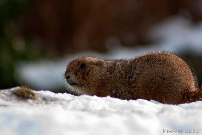 Ow, hallo! - Prairiehondje in de sneeuw in Diergaarde Blijdorp.