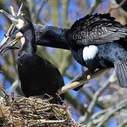 Aalsscholvers op het nest