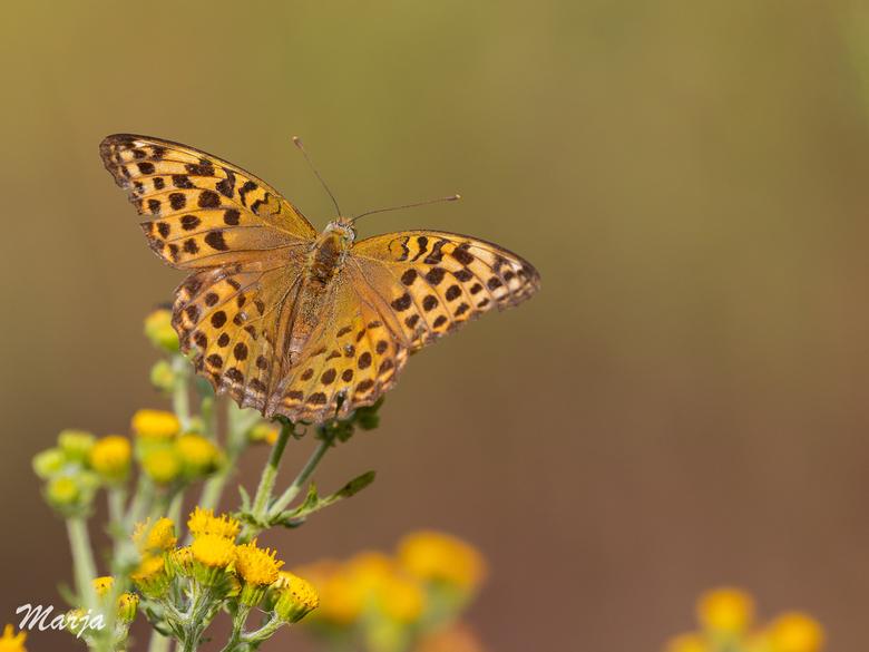Keizersmantel - Gelukkig toch nog een paar gevonden, deze mooie vlinder soort zie je niet zo heel veel.