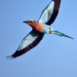 Vogel in Afrika