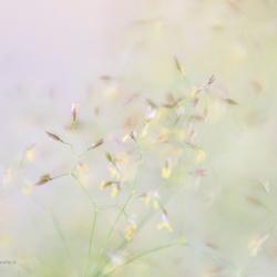 Nog een grasje...........er zijn zoveel soorten.....