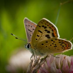 Close-up Bruine vuurvlinder