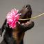 Beauceron pup met bloem