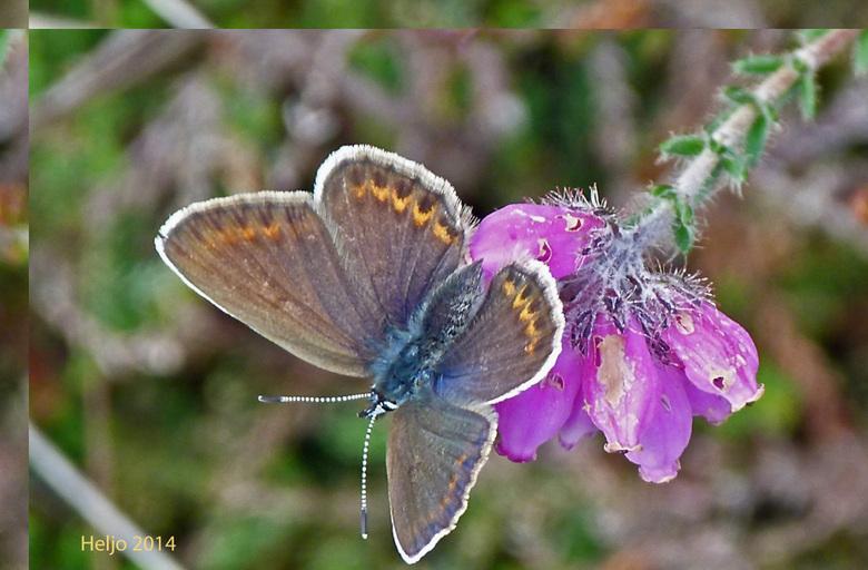 Blauwtje (vrouwtje) - Blauwtjes <br /> De groep blauwtjes is genoemd naar de blauwe kleur op de bovenkant van de vleugels. Het zijn relatief kleine v