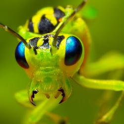 groen bladwesp